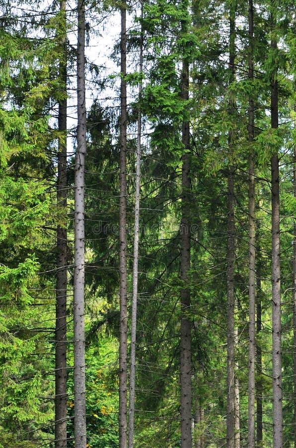 Foto dei tronchi di albero degli alberi del bosco che cambiano il colore in autum iniziale immagine stock libera da diritti