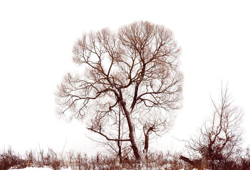 Foto del árbol del invierno con el campo cubierto por la nieve aislada en el fondo blanco fotografía de archivo