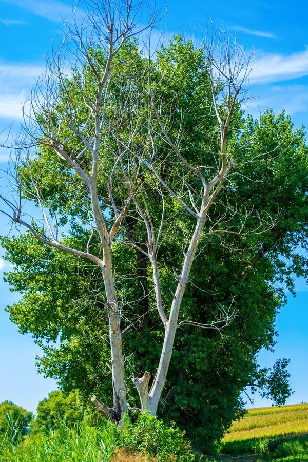 Foto del árbol seco y vivo en el verano fotografía de archivo