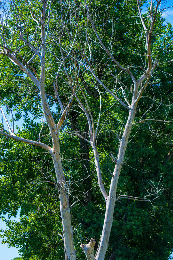 Foto del árbol seco y vivo en el verano imágenes de archivo libres de regalías