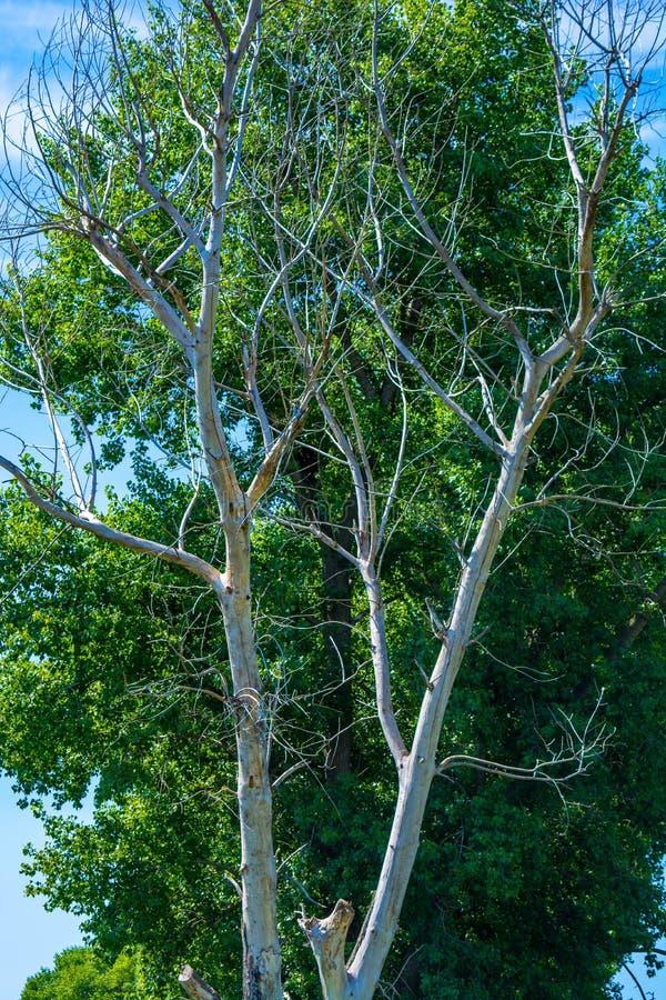 Foto del árbol seco y vivo en el verano foto de archivo