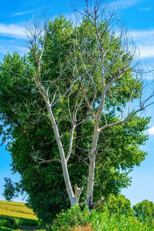 Foto del árbol seco y vivo en el verano fotos de archivo