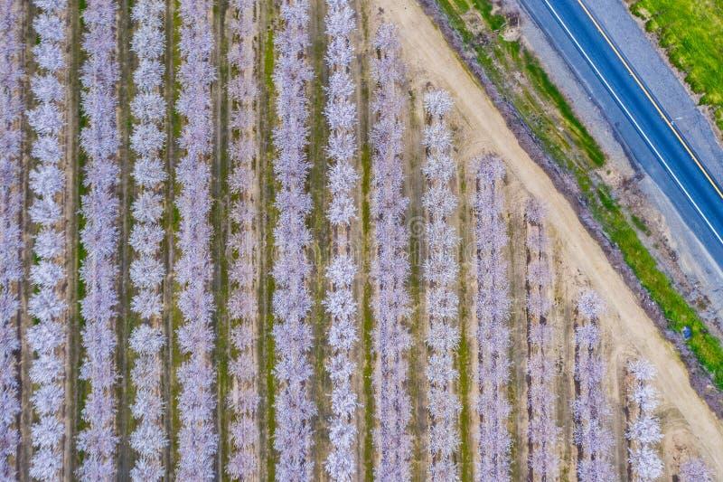 Foto del abejón de los árboles de almendra de California en la floración fotografía de archivo