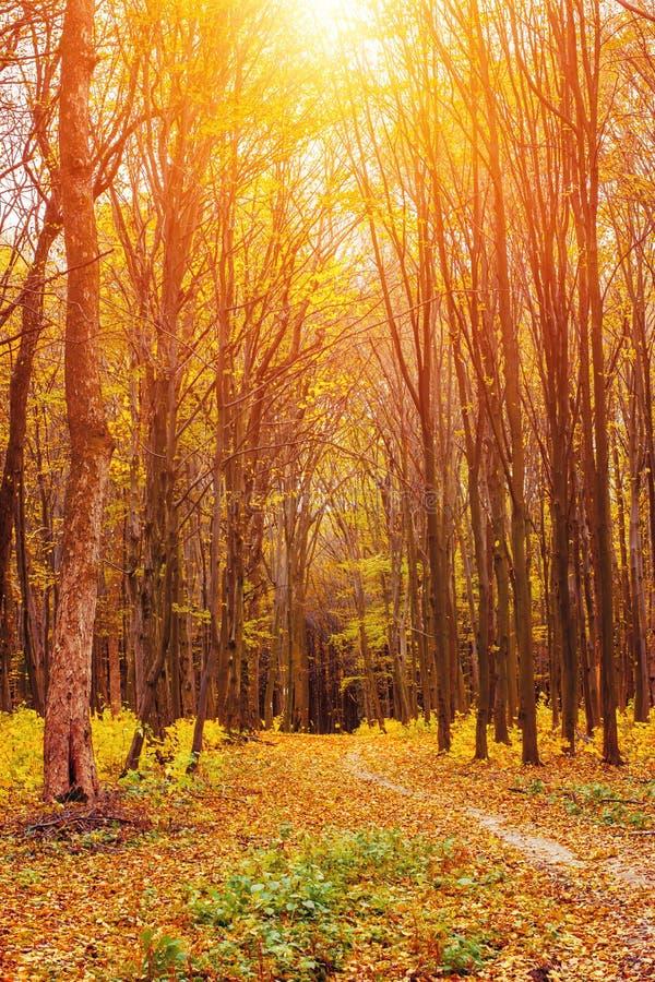 Foto del bosque anaranjado del otoño con las hojas y el camino imagen de archivo