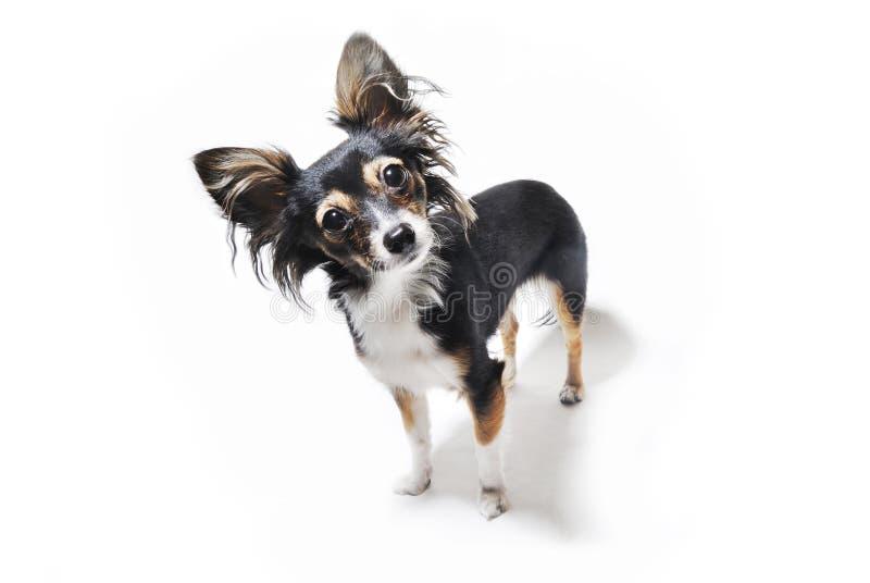 Foto del cane emozionale curioso isolato su fondo bianco fotografia stock libera da diritti