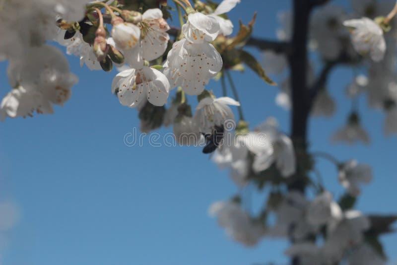 Foto del cerezo floreciente fotografía de archivo