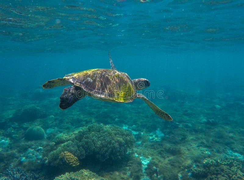 Foto del cierre de la tortuga de mar verde con profundidad del océano Primer de la tortuga de mar imagen de archivo