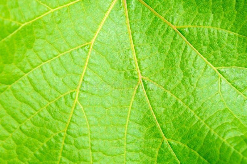Foto del cierre encima de la textura verde de la hoja de la vid fotos de archivo libres de regalías