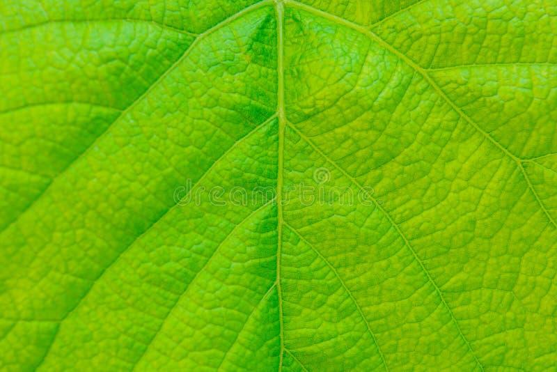 Foto del cierre encima de la textura verde de la hoja de la vid fotografía de archivo libre de regalías