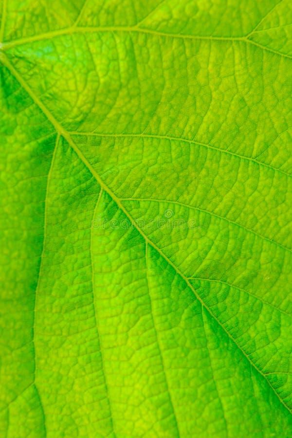Foto del cierre encima de la textura verde de la hoja de la vid fotos de archivo