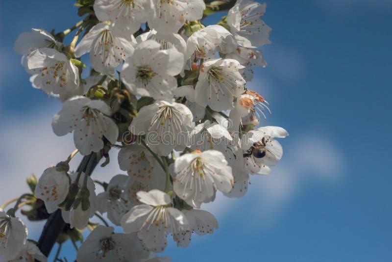Foto del ciliegio di fioritura immagini stock