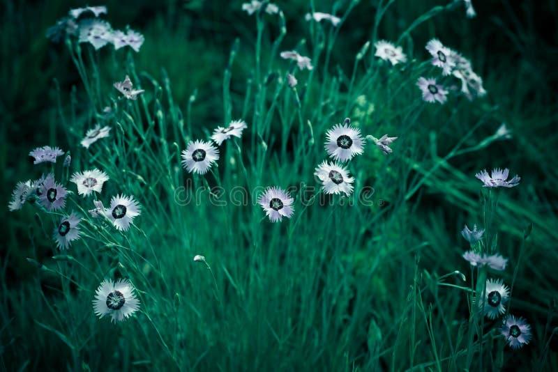 Foto del contesto di fondo del fiore selvaggio di Cav di bipinnata dell'universo fotografie stock