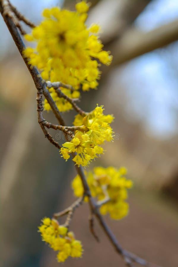 Foto del cornejo amarillo floreciente de la ramita en jardín en primavera fotos de archivo