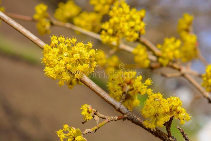 Foto del cornejo amarillo floreciente de la ramita en jardín en primavera fotografía de archivo