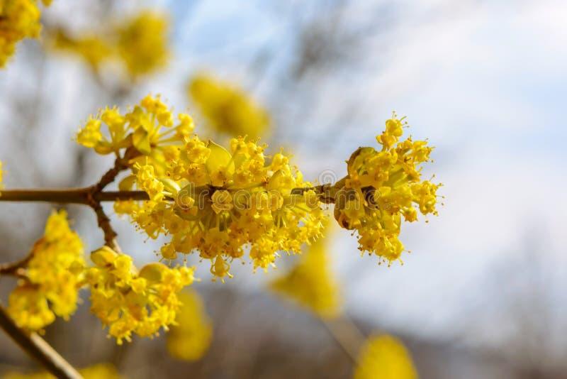 Foto del cornejo amarillo floreciente de la ramita en jardín en primavera imagen de archivo