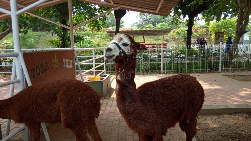 Foto del 15 de junio de 2019, Taman Legenda, TMII, Yakarta Oriental, Indonesia, alpaka marrón, Alpaca en el puesto, liama pacos d fotografía de archivo