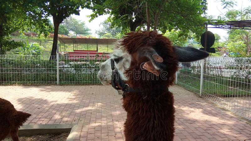 Foto del 15 de junio de 2019, Taman Legenda, TMII, Yakarta Oriental, Indonesia, Jefe de alpaka marrón, Alpaca en el puesto, liama fotografía de archivo