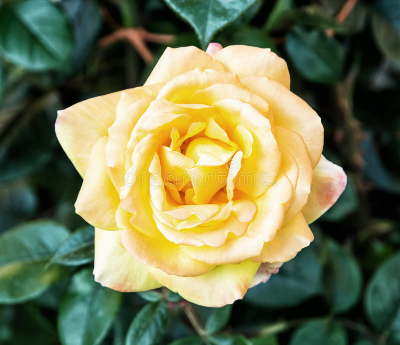 Foto del detalle de una rosa del amarillo imágenes de archivo libres de regalías