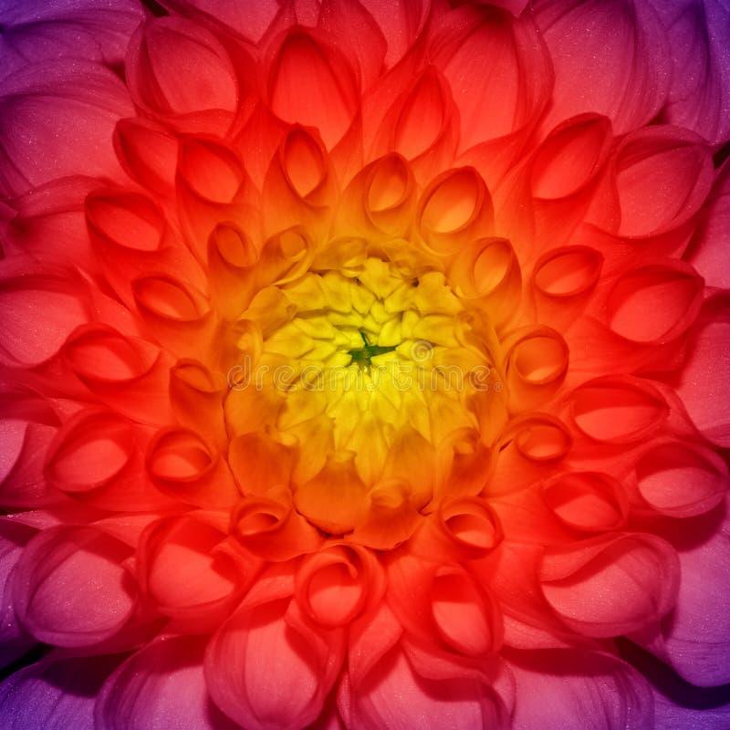 Foto del fondo de la flor del extracto del primer, una textura de la flor imagen de archivo