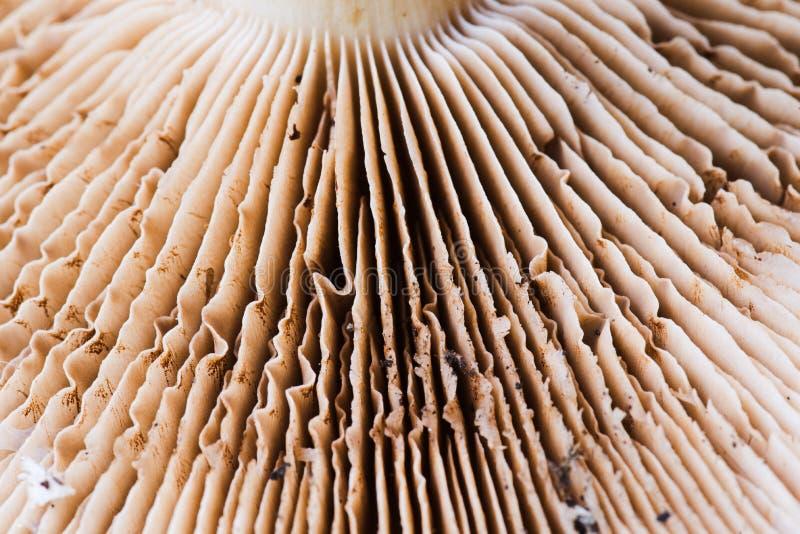 Foto del fungo di trivialis del Cortinarius macro delle branchie immagine stock