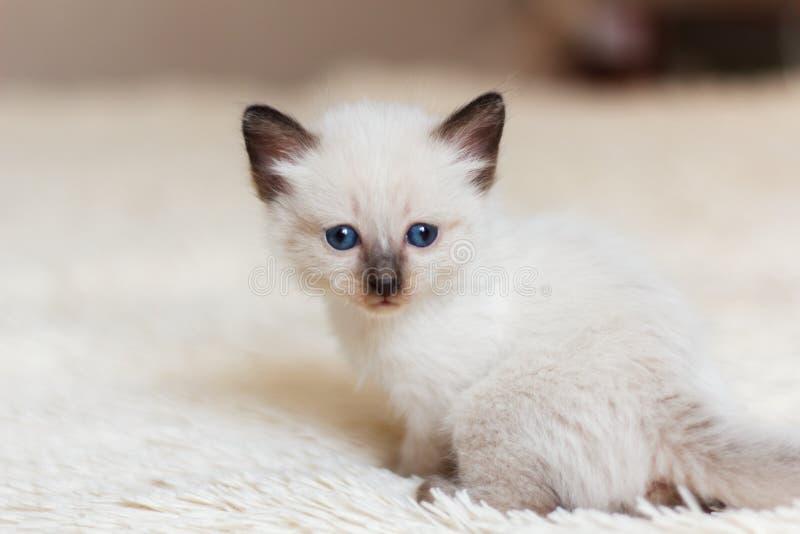 Foto del gatito siamés foto de archivo
