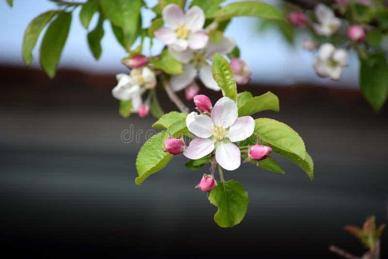 Foto del material de plantación del jardín de la primavera rosada blanca del árbol de la floración del flor de Apple que cultiva  foto de archivo