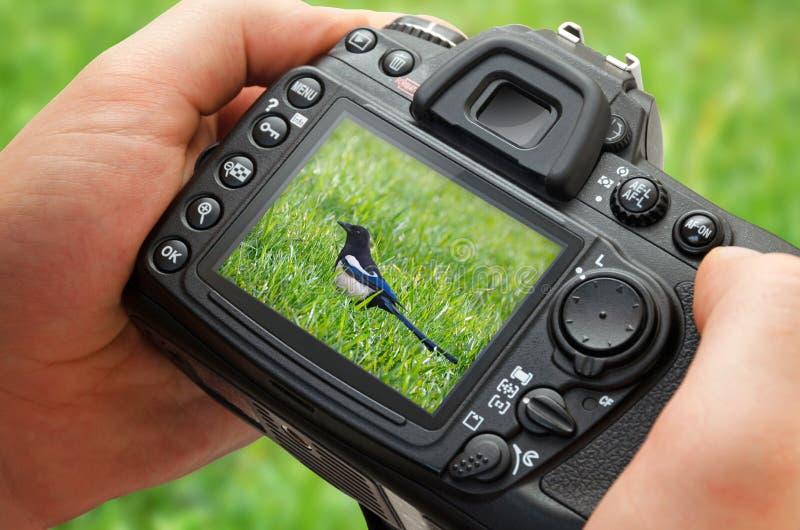 Foto del pájaro en la exhibición de la cámara durante la fotografía de la afición en naturaleza imagen de archivo