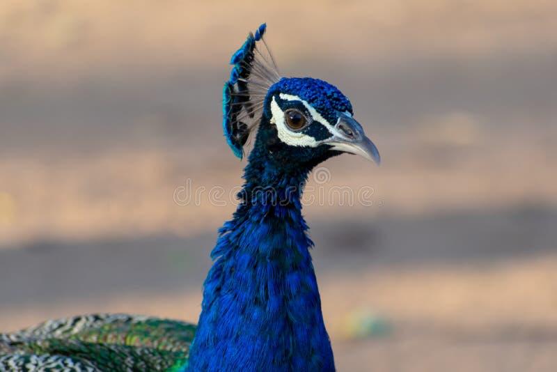 Foto del pavo real foto de archivo