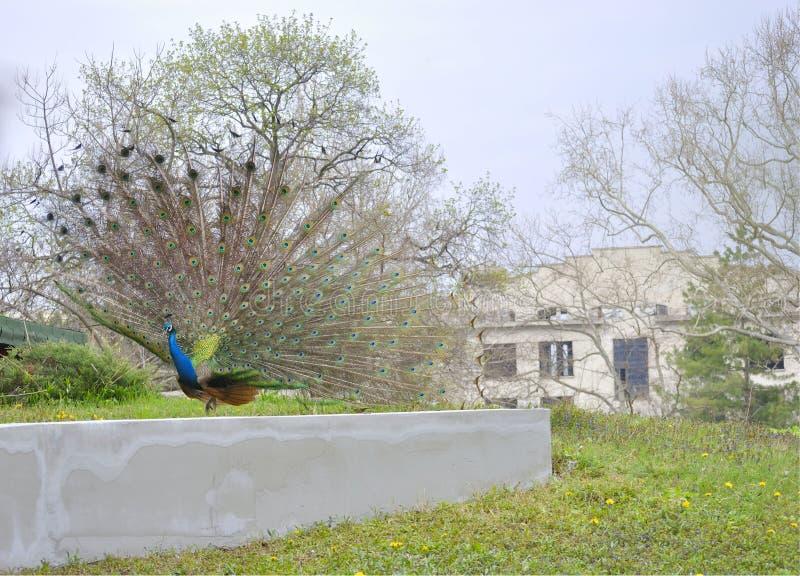 Foto del pavone con la coda aperta fotografie stock libere da diritti