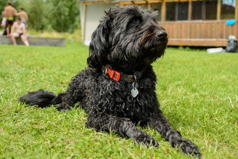 Foto del perro - Schnauzer negro imagen de archivo