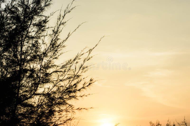 Foto del pino fotografie stock libere da diritti