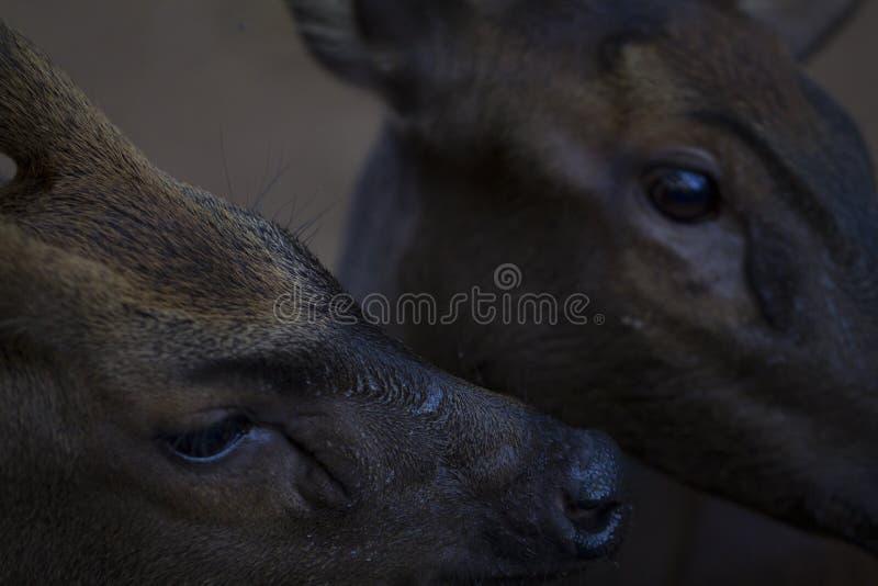 Foto del primer de dos ciervos Primer principal de los ciervos Familia del reno en el parque zoológico imagen de archivo