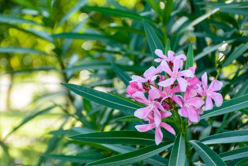 Foto del primer de la flor hermosa, adelfa imagenes de archivo