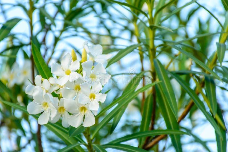 Foto del primer de la flor hermosa, adelfa fotografía de archivo