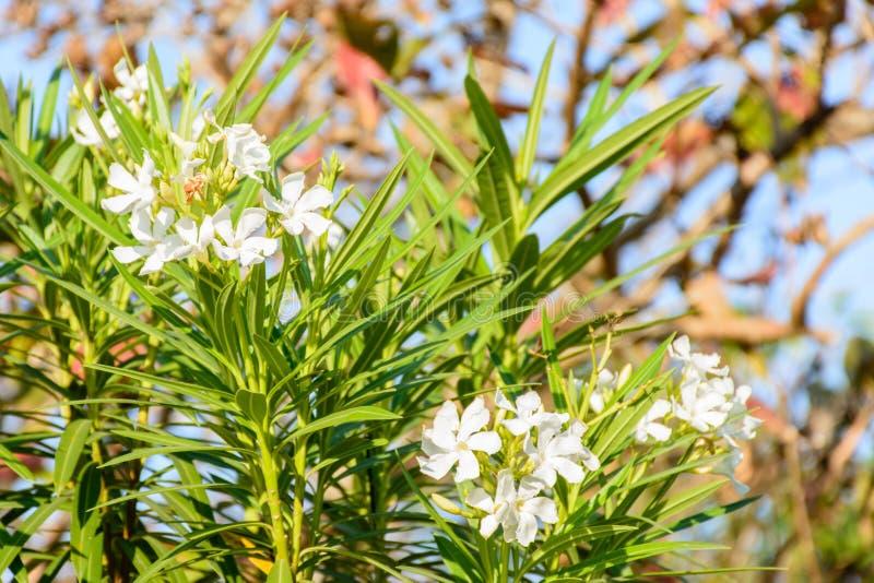Foto del primer de la flor hermosa, adelfa foto de archivo