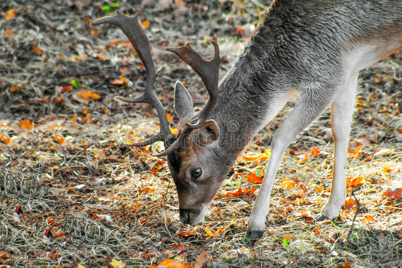 Foto del primer de un ciervo en barbecho masculino joven imagen de archivo