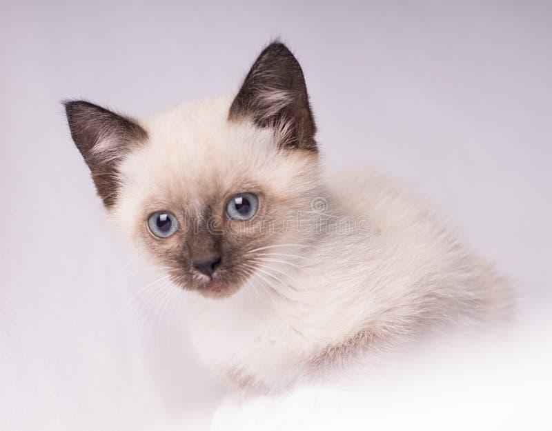 Foto del primer del gato siamés gris con los ojos azules que miran la cámara aislada en el fondo blanco foto de archivo libre de regalías