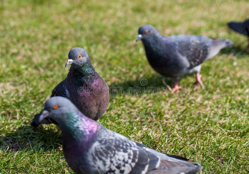 Foto del primo piano dei piccioni sul vicolo Colomba sopra l'erba Piccioni nella città Serie degli uccelli immagini stock libere da diritti