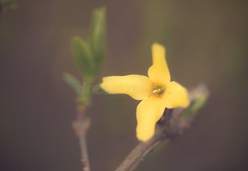 Foto del primo piano del fiore di forsythia della molla di maggiociondolo immagine stock