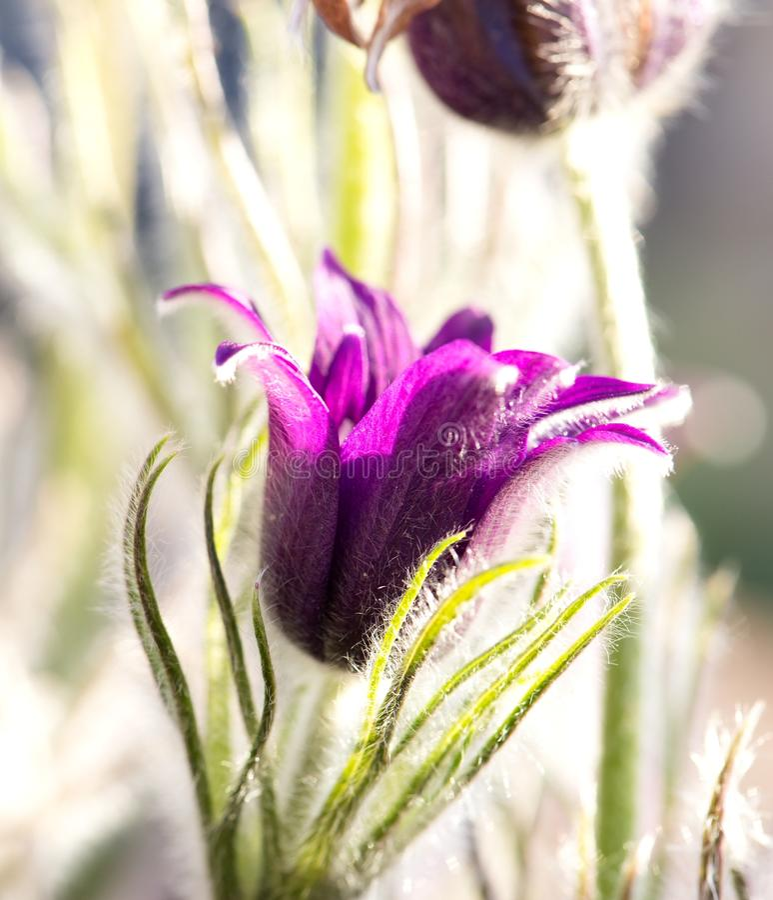 Foto del primo piano del fiore di pasque con colore viola fotografia stock