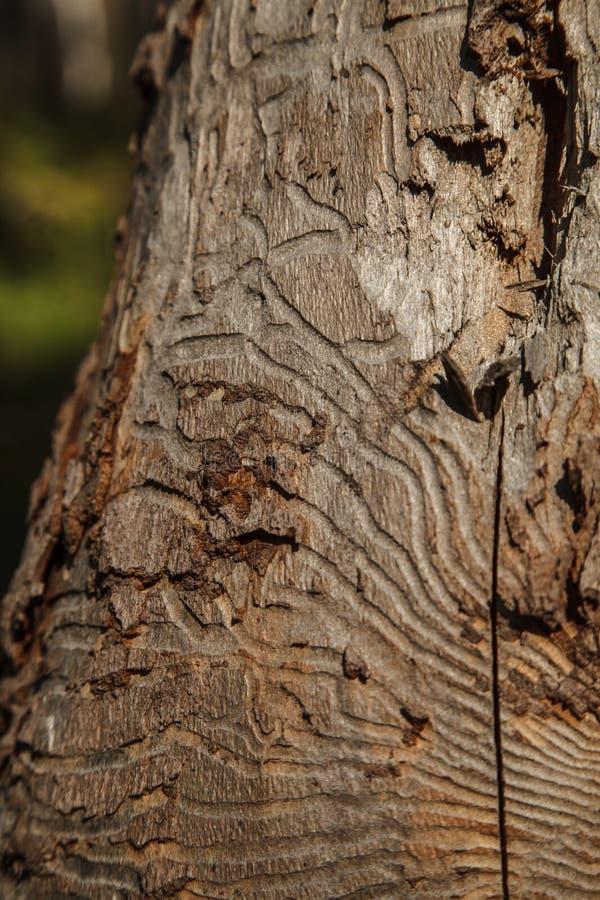 Foto del primo piano della corteccia di albero con le tracce di parassita fotografie stock