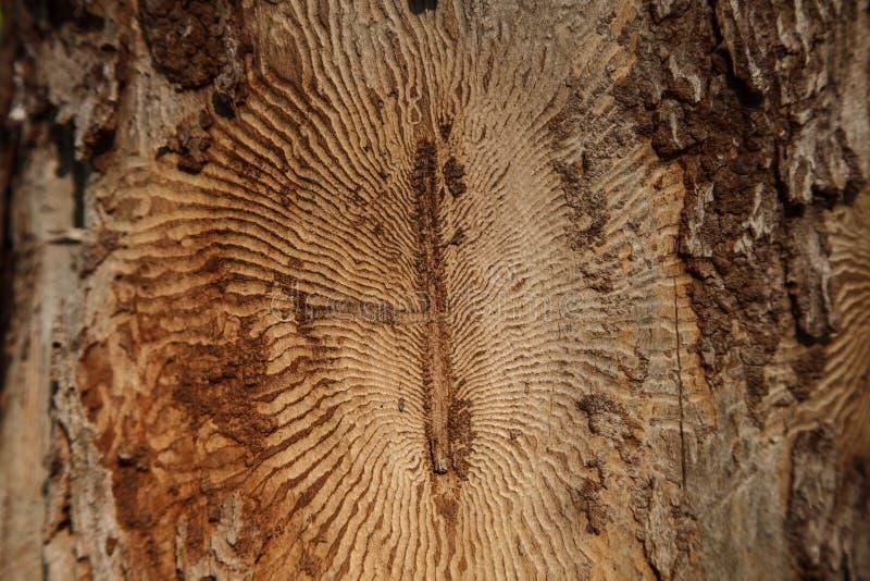 Foto del primo piano della corteccia di albero con le tracce di parassita fotografia stock libera da diritti