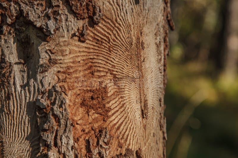 Foto del primo piano della corteccia di albero con le tracce di parassita immagini stock