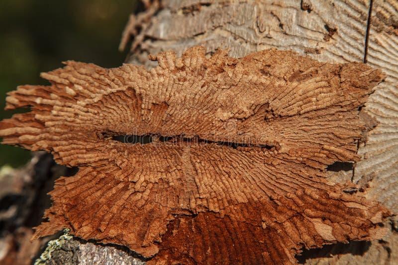Foto del primo piano della corteccia di albero con le tracce di parassita immagine stock