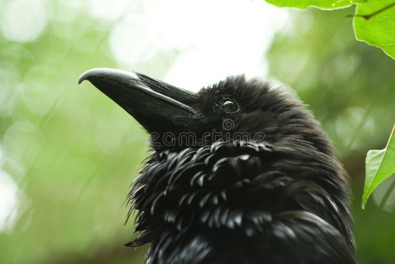 Foto del primo piano della testa nera selvaggia del corvo fotografia stock