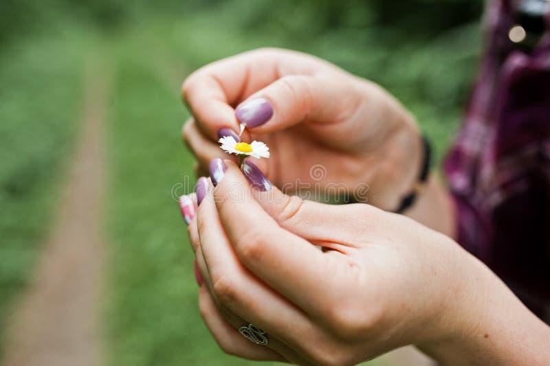 Foto del primo piano delle mani femminili che tengono piccola camomilla immagine stock