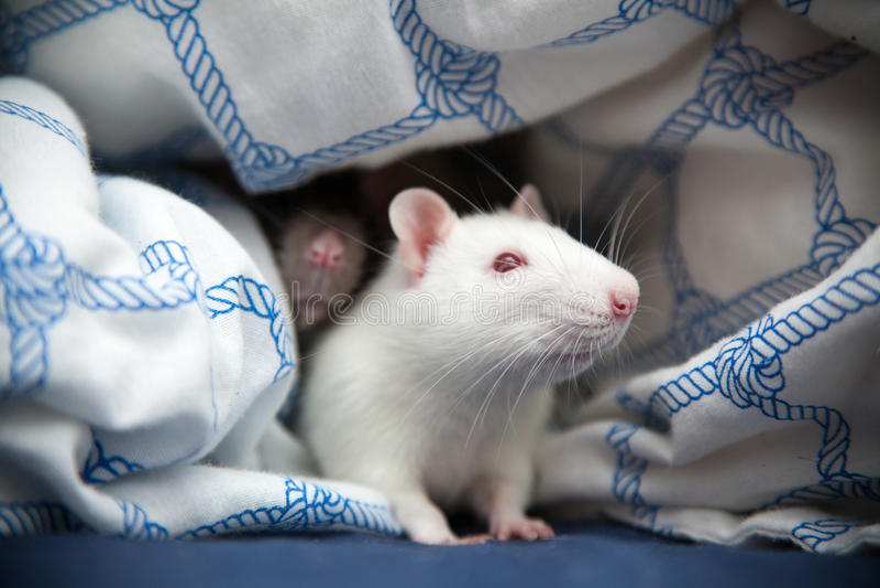 Foto del primo piano di due ratti dell'animale domestico immagini stock libere da diritti