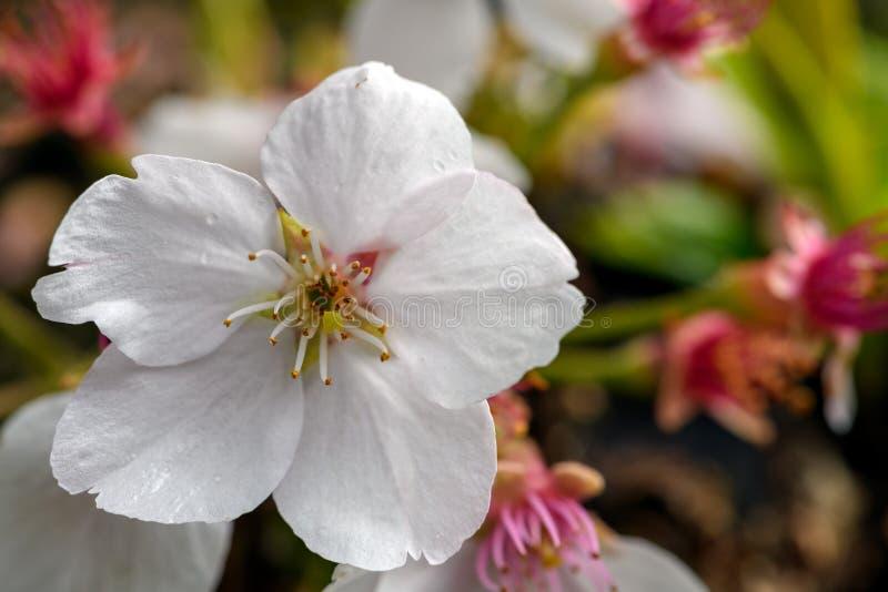Foto del primo piano di un fiore del ciliegio fotografie stock