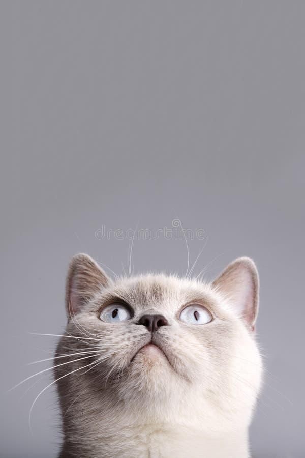 Foto del primo piano del gatto britannico dei peli di scarsità fotografia stock