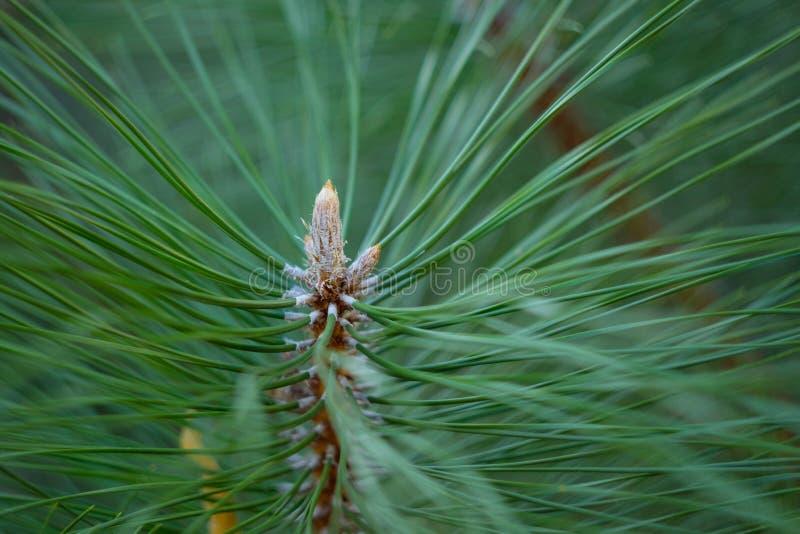 Foto del primo piano del pino verde dell'ago Aghi vaghi del pino nel fondo fotografie stock libere da diritti
